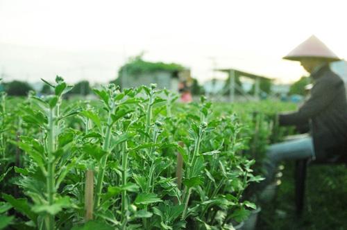 Hoa Tết không kết nụ, chủ vườn ở Sài Gòn khóc ròng - 8