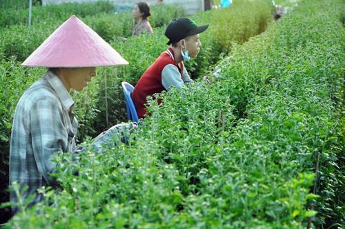 Hoa Tết không kết nụ, chủ vườn ở Sài Gòn khóc ròng - 10