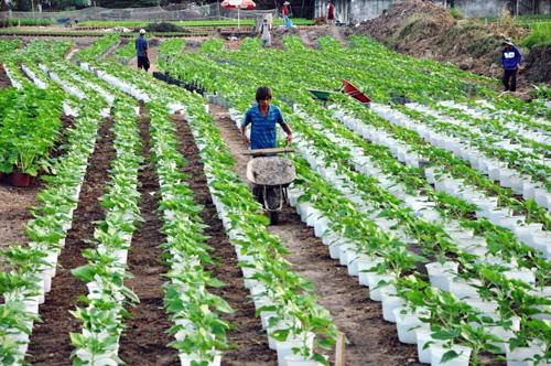 Hoa Tết không kết nụ, chủ vườn ở Sài Gòn khóc ròng - 12