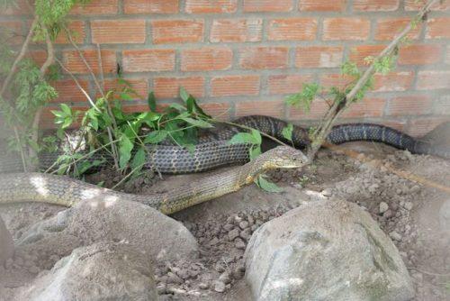 Bắt được cặp rắn hổ mây khủng nặng 60kg, dài 7m trên núi Cấm - 2