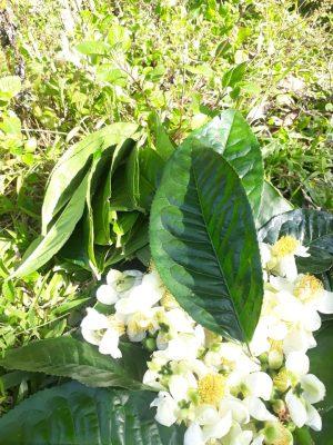 """bo hoa che co thu trong ong tre, """"trot"""" uong mot lan """"say"""" ca doi hinh anh 2"""