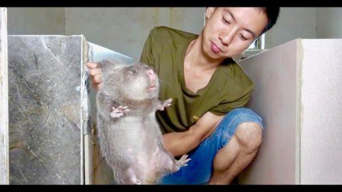 Thịt lợn đắt đỏ, dân chuyển sang ăn thịt chuột, vừa ngon vừa rẻ