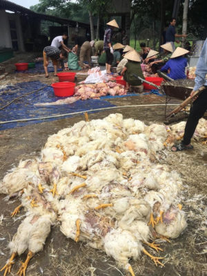 Đau xót: Chứng kiến trại gà vạn con chết la liệt vì sốc nhiệt giữa ngày nắng nóng - Ảnh 2.