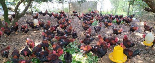 Đau xót: Chứng kiến trang trại vạn gà sốc nhiệt chết la liệt giữa ngày nắng nóng - Ảnh 3.