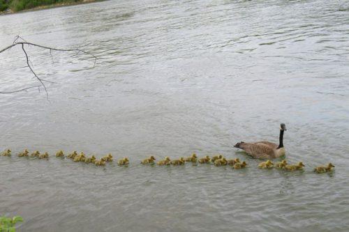 """""""Mẹ"""" ngỗng Canada nổi tiếng đông con nhất thế giới khiến hàng triệu triệu cư dân mạng ráo riết săn lùng. - Ảnh 1."""