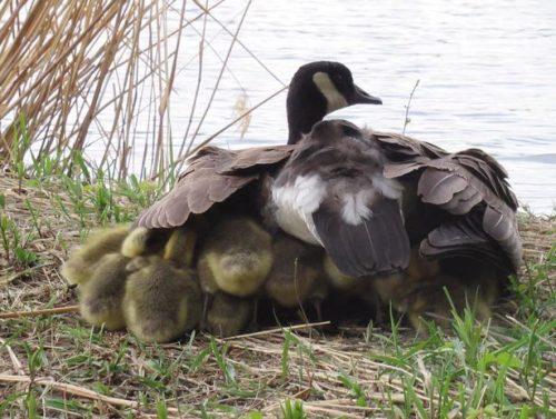 """""""Mẹ"""" ngỗng Canada nổi tiếng đông con nhất thế giới khiến hàng triệu triệu cư dân mạng ráo riết săn lùng. - Ảnh 3."""