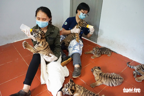 Công an tìm thấy cả chục con hổ được nuôi nhốt trong một nhà dân - Ảnh 2.