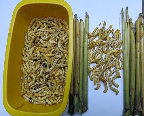 Loại sâu ở Việt Nam được ví như đông trùng hạ thảo của Trung Quốc, giá đắt nhưng không thiếu người mua vì ông ăn, bà vui - Ảnh 4.